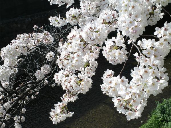 Sakura2015031