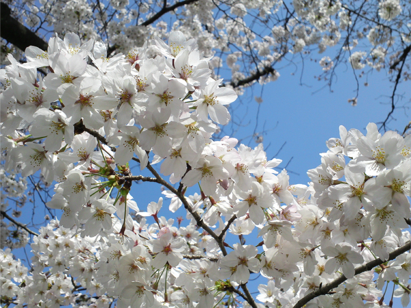 Sakura2015032