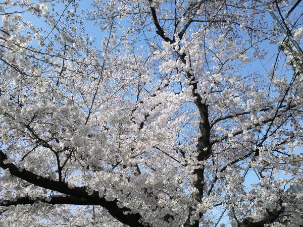 Sakura2015033